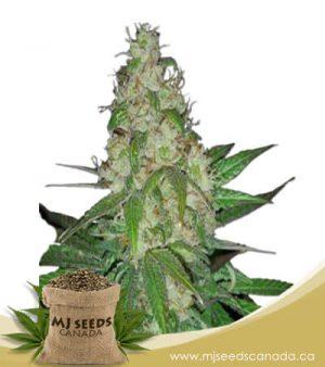 Skunk#1 Autoflowering Marijuana Seeds