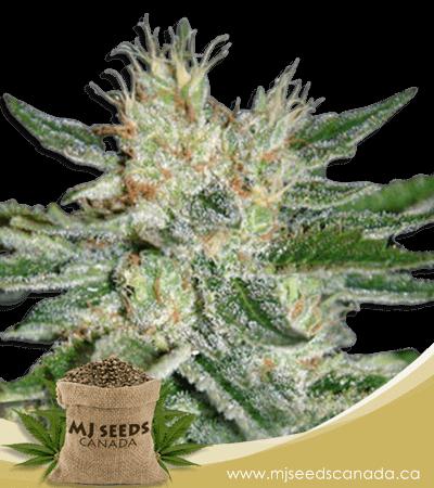 Sugar Black Rose Feminized Marijuana Seeds