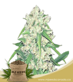 Super Silver Haze Autoflowering Marijuana Seeds