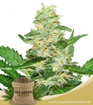 Super Skunk Autoflowering Marijuana Seeds