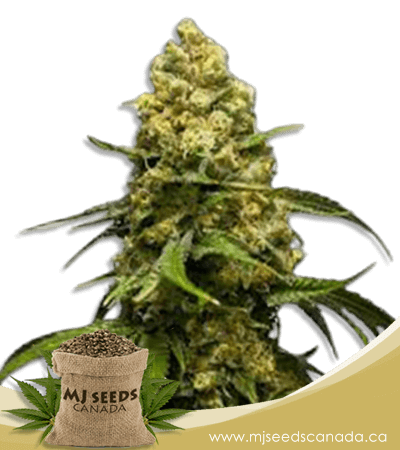 Super Skunk Feminized Marijuana Seeds