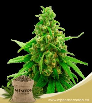 Sweet Tooth Autoflower Marijuana Seeds
