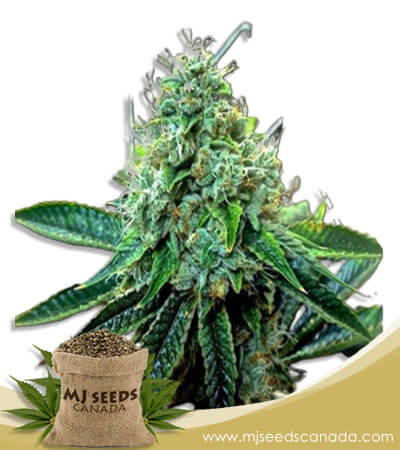 True OG Feminized Marijuana Seeds