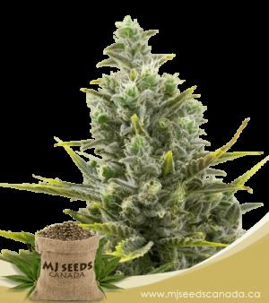 Wedding Cake Autoflowering Marijuana Seeds