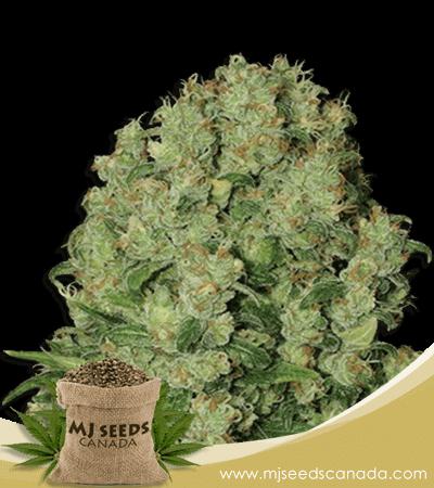 White Russian Fast Version Marijuana Seeds