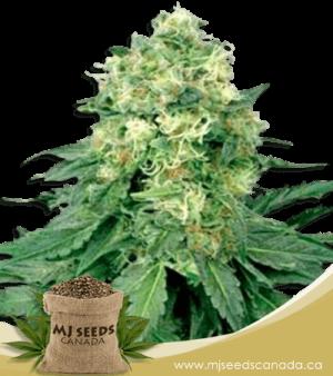 White Widow Regular Marijuana Seeds