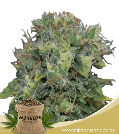 yumbolt autoflowering marijuana seeds