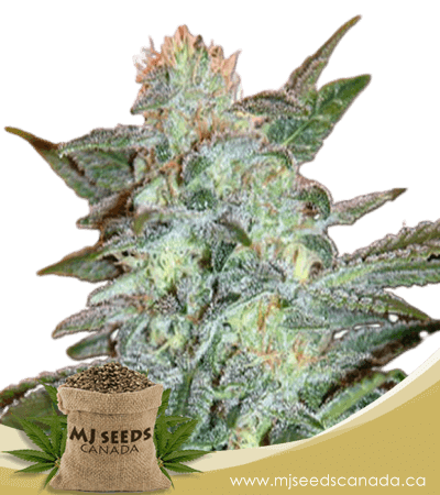 Yumbolt Feminized Marijuana Seeds