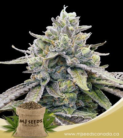 Zkitllez Autoflowering Marijuana Seeds