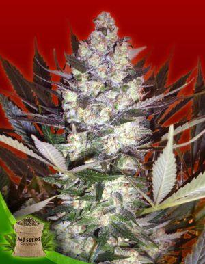 Buy Marijuana Seeds Online