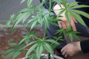 Benefits of Growing Marijuana Seeds Indoors