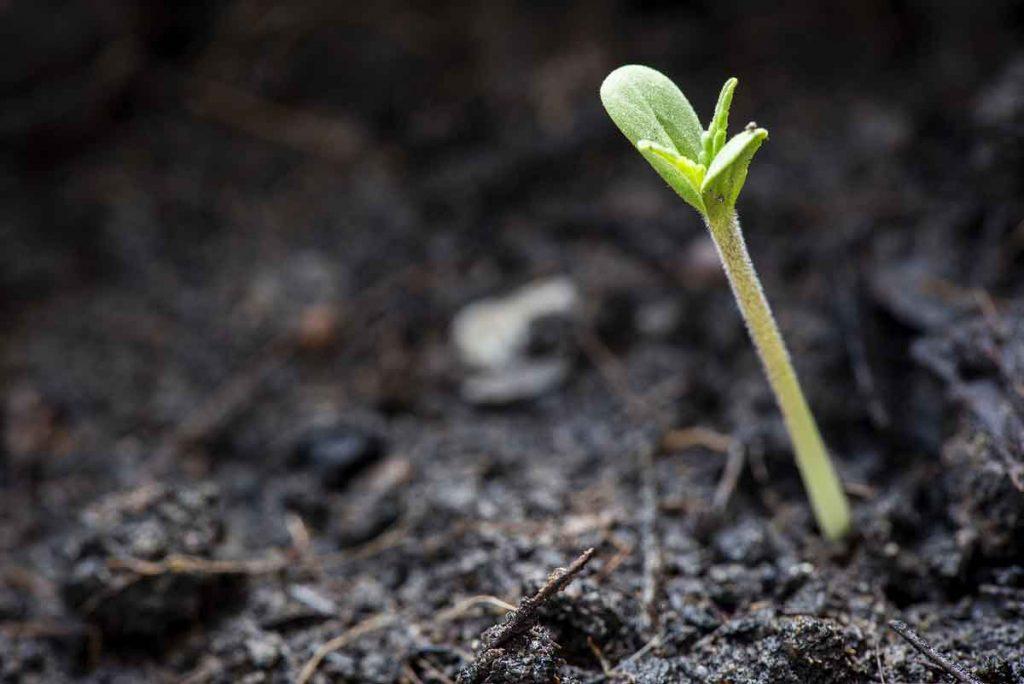Best Marijuana Seeds Germination Method