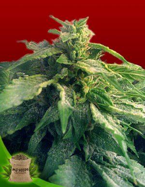Outdoor Marijuana Seeds for Sale