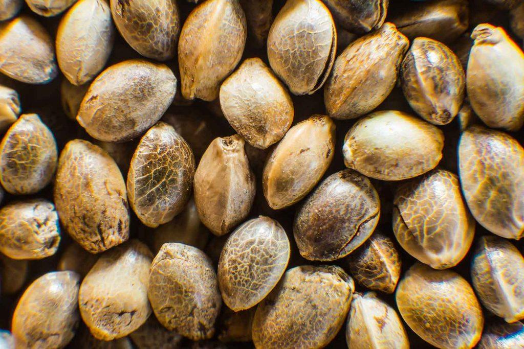Do Not Buy Cannabis Seeds in Bulk – an Advice