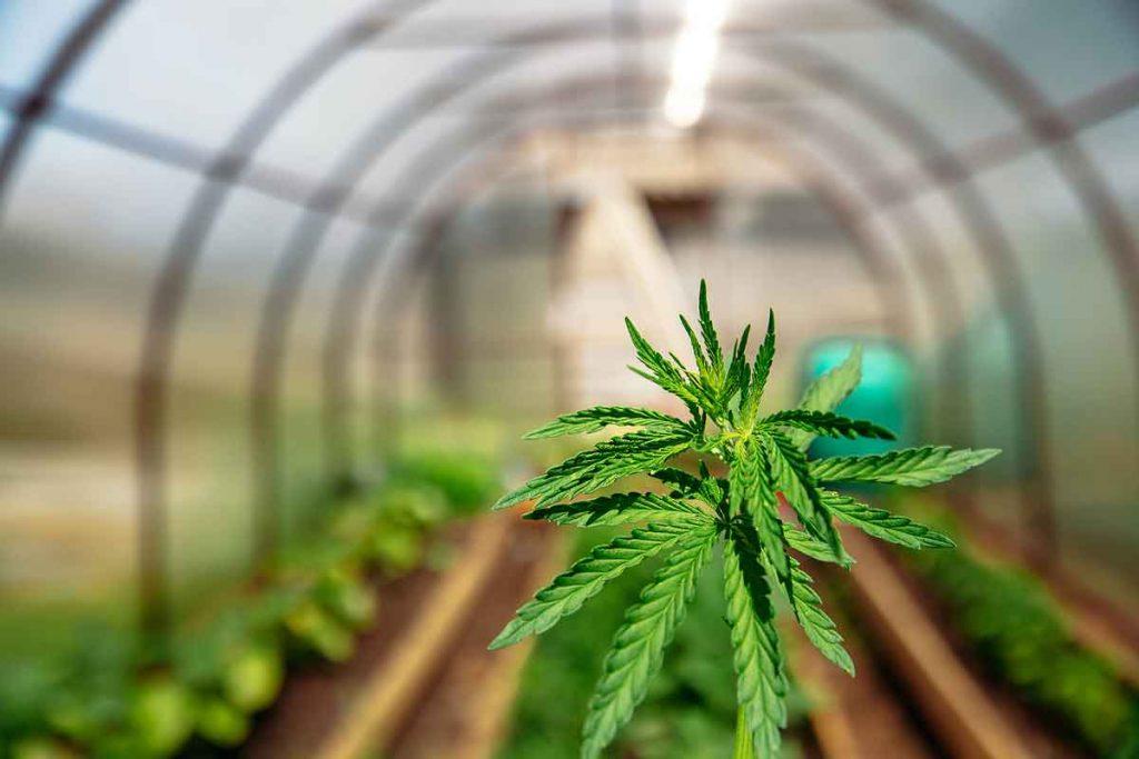 High Quality Marijuana Seeds for Growing