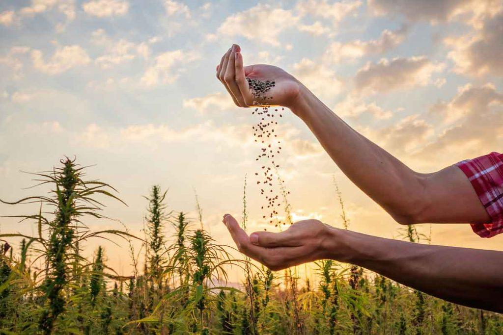 How to Pick the Best Marijuana Seeds Company