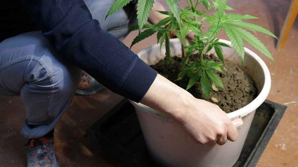 Important Considerations When Growing Indoor Marijuana Seeds