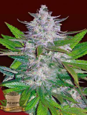 Indoor Marijuana Seeds for Sale