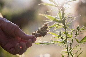 Medical Marijuana Seeds for your Symptoms
