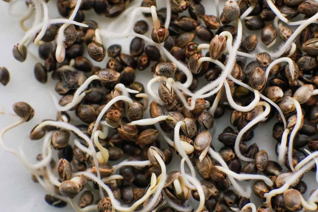 Purchasing Marijuana Seeds at Low Prices