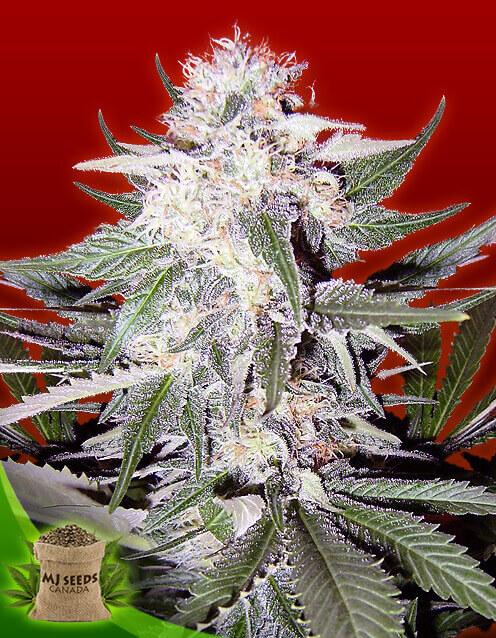 Purple Haze Feminized Marijuana Seeds