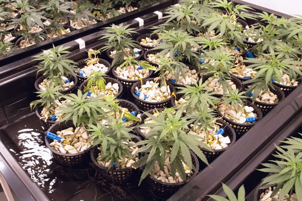 Steps in Planting Marijuana Seeds Indoors
