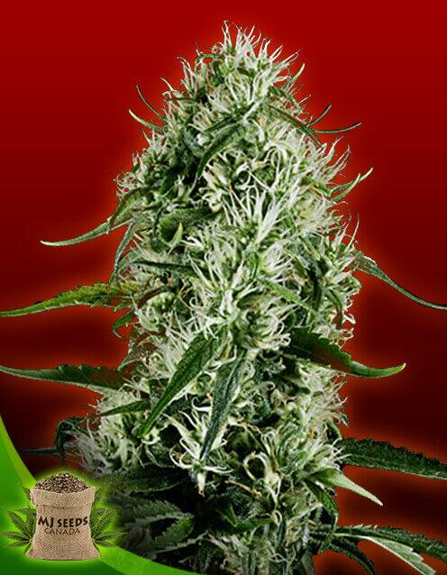 Super Silver Haze Feminized Marijuana Seeds