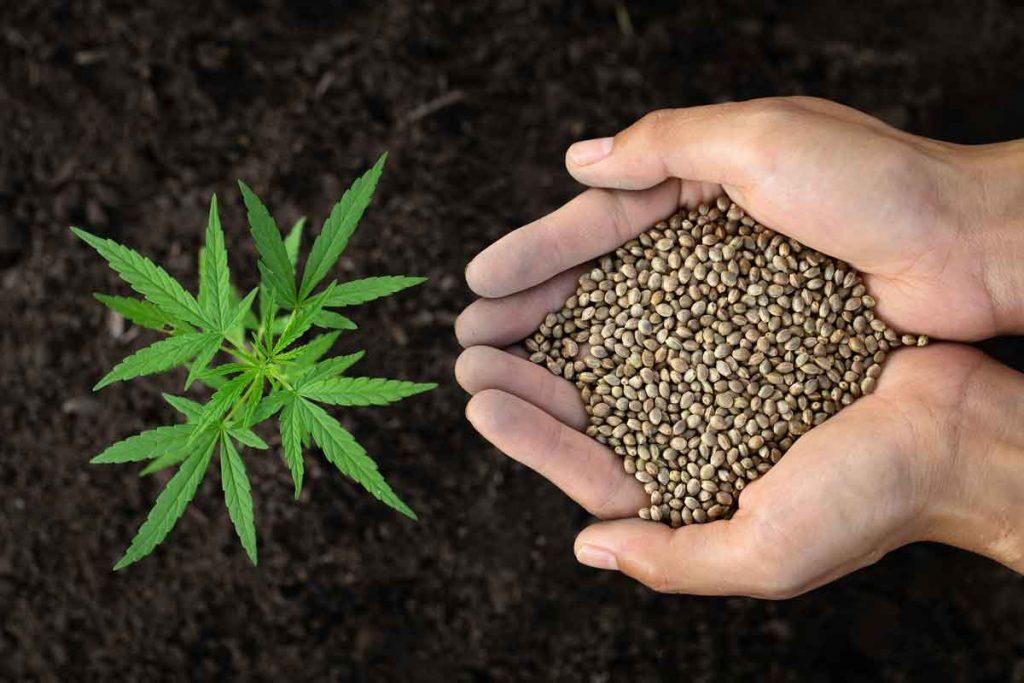 Tips in Looking for the Best Marijuana Seedbank