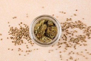 What Can You Get From Feminized Marijuana Seeds