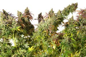 Where to Purchase the Finest Autoflowering Marijuana Seed