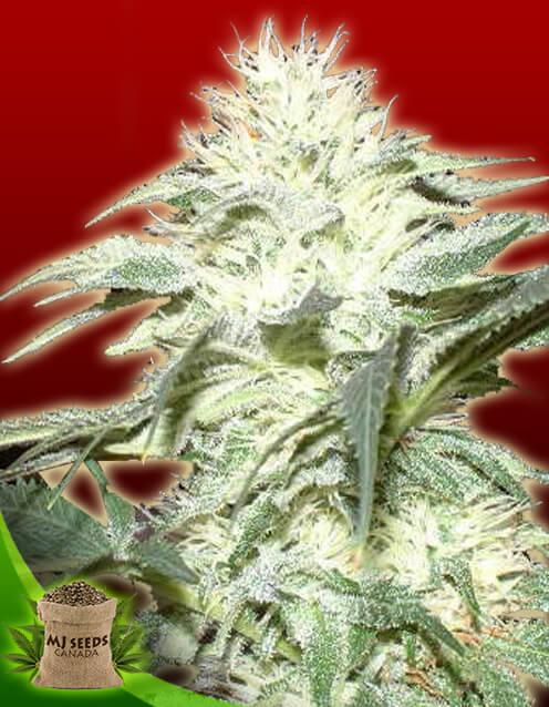 White Widow Feminized Marijuana Seeds