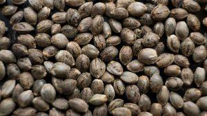 Why Buy Marijuana Seeds from Canada
