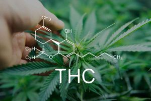 Why Check the THC Level of the Marijuana Seeds Before Ordering
