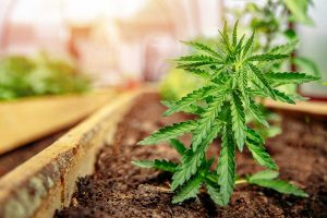 Why Consider the Height of your Marijuana Plants in Buying Cannabis Seeds
