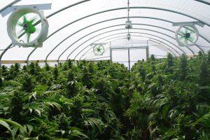 Expert Guide for a Successful Marijuana Cultivation