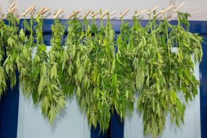 How to Dry Weed: Complete Guide