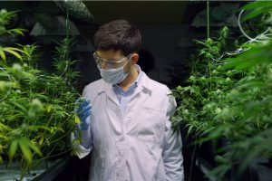 Tissue Culture in Cannabis: An Innovative Weed Cultivation Method
