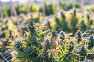When to Harvest Outdoor Weed: Manual for Cannabis Growers