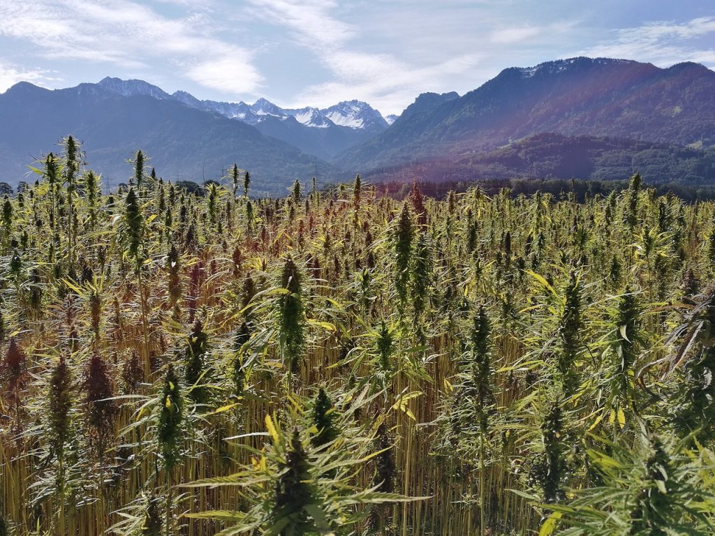 when to harvest outdoor weed