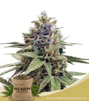 Acapulco Gold Feminized Marijuana Seeds