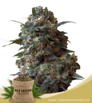 afghan chocolope feminized fast version marijuana seeds