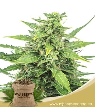 Agent Orange Feminized Marijuana Seeds