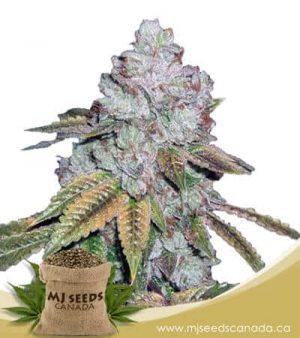 Alien OG Regular BCBD Marijuana Seeds