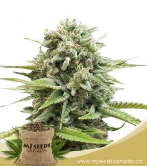 Animal Cookies Autoflowering Marijuana Seeds