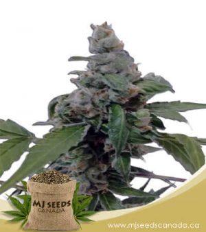 Aurora Autoflowering Marijuana Seeds