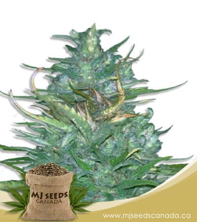 Auto CBD Blueberry (1:16) Marijuana Seeds