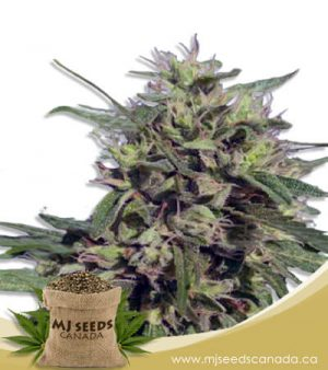 auto cbd fruit (1:20) marijuana seeds
