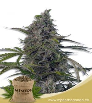 auto cbd fruit cheese (1:2) sarijuana seeds