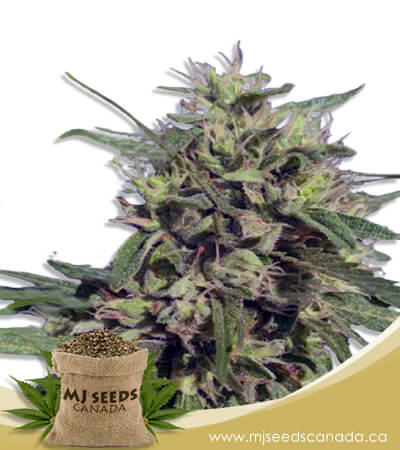Auto CBD Fruit (1:20) Marijuana Seeds