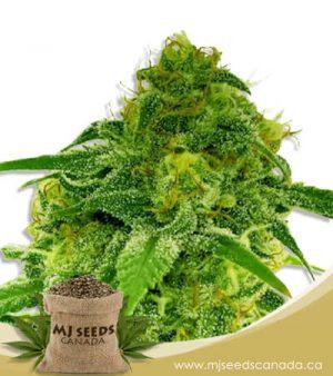 Auto CBD Jack Herer (1:1) Marijuana Seeds